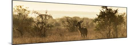 Awesome South Africa Collection Panoramic - Impala Sunrise-Philippe Hugonnard-Mounted Photographic Print