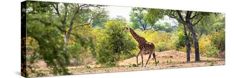 Awesome South Africa Collection Panoramic - Giraffe in the Savanna-Philippe Hugonnard-Stretched Canvas Print