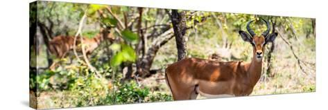 Awesome South Africa Collection Panoramic - Impala Portrait-Philippe Hugonnard-Stretched Canvas Print