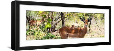 Awesome South Africa Collection Panoramic - Impala Portrait-Philippe Hugonnard-Framed Art Print
