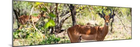 Awesome South Africa Collection Panoramic - Impala Portrait-Philippe Hugonnard-Mounted Photographic Print