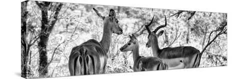 Awesome South Africa Collection Panoramic - Impala Family B&W-Philippe Hugonnard-Stretched Canvas Print