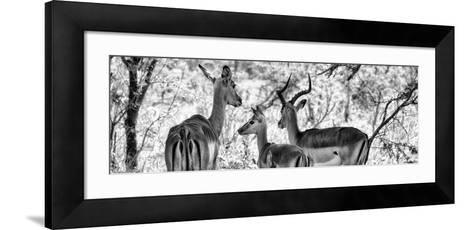 Awesome South Africa Collection Panoramic - Impala Family B&W-Philippe Hugonnard-Framed Art Print