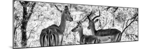 Awesome South Africa Collection Panoramic - Impala Family B&W-Philippe Hugonnard-Mounted Photographic Print