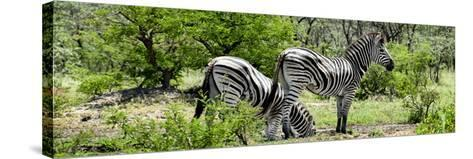 Awesome South Africa Collection Panoramic - Zebras Africa-Philippe Hugonnard-Stretched Canvas Print