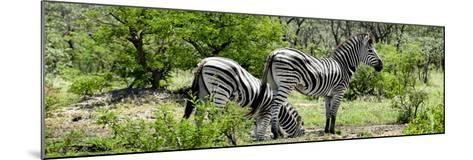 Awesome South Africa Collection Panoramic - Zebras Africa-Philippe Hugonnard-Mounted Photographic Print