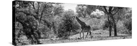 Awesome South Africa Collection Panoramic - Giraffe in the Savanna B&W-Philippe Hugonnard-Stretched Canvas Print