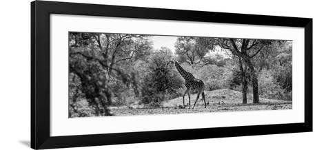 Awesome South Africa Collection Panoramic - Giraffe in the Savanna B&W-Philippe Hugonnard-Framed Art Print