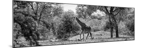 Awesome South Africa Collection Panoramic - Giraffe in the Savanna B&W-Philippe Hugonnard-Mounted Photographic Print