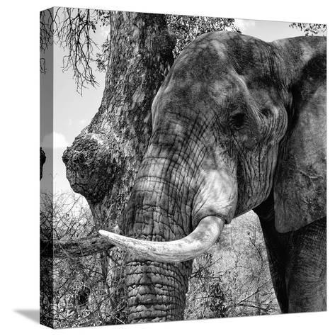 Awesome South Africa Collection Square - Close-Up of Elephant B&W-Philippe Hugonnard-Stretched Canvas Print