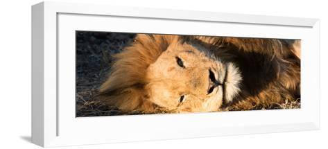 Awesome South Africa Collection Panoramic - Close-Up Portrait of a sleeping Lion-Philippe Hugonnard-Framed Art Print