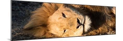 Awesome South Africa Collection Panoramic - Close-Up Portrait of a sleeping Lion-Philippe Hugonnard-Mounted Photographic Print