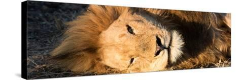 Awesome South Africa Collection Panoramic - Close-Up Portrait of a sleeping Lion-Philippe Hugonnard-Stretched Canvas Print