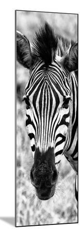 Awesome South Africa Collection Panoramic - Close-up Zebra Portrait B&W-Philippe Hugonnard-Mounted Photographic Print