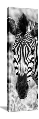 Awesome South Africa Collection Panoramic - Close-up Zebra Portrait B&W-Philippe Hugonnard-Stretched Canvas Print