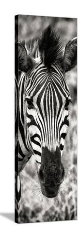 Awesome South Africa Collection Panoramic - Close-up Zebra Portrait II-Philippe Hugonnard-Stretched Canvas Print