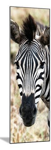 Awesome South Africa Collection Panoramic - Close-up Zebra Portrait-Philippe Hugonnard-Mounted Photographic Print
