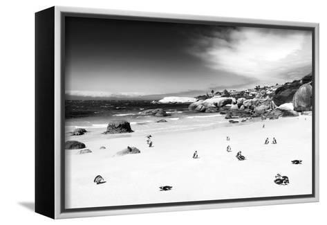 Awesome South Africa Collection B&W - African Penguins at Foxi Beach-Philippe Hugonnard-Framed Canvas Print