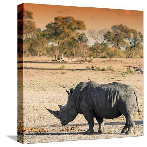Awesome South Africa Collection Square - Rhinoceros in Savanna at Sunset-Philippe Hugonnard-Stretched Canvas Print