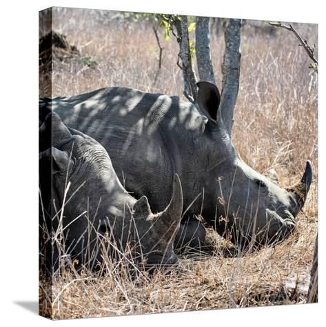 Awesome South Africa Collection Square - Two White Rhinos-Philippe Hugonnard-Stretched Canvas Print