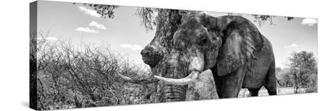 Awesome South Africa Collection Panoramic - Male African Elephant B&W-Philippe Hugonnard-Stretched Canvas Print