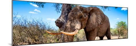 Awesome South Africa Collection Panoramic - Male African Elephant-Philippe Hugonnard-Mounted Photographic Print