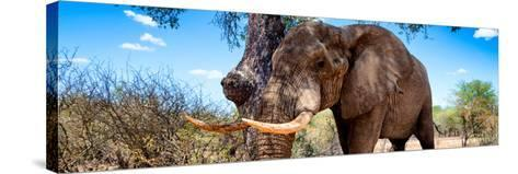 Awesome South Africa Collection Panoramic - Male African Elephant-Philippe Hugonnard-Stretched Canvas Print