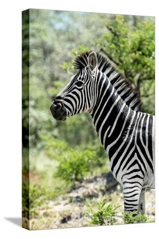 Awesome South Africa Collection - Burchell's Zebra X-Philippe Hugonnard-Stretched Canvas Print