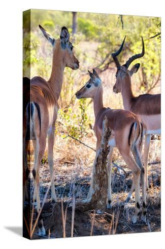 Awesome South Africa Collection - Impala Family I-Philippe Hugonnard-Stretched Canvas Print