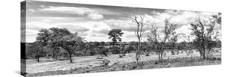 Awesome South Africa Collection Panoramic - Beautiful Savannah Landscape II B&W-Philippe Hugonnard-Stretched Canvas Print