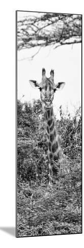 Awesome South Africa Collection Panoramic - Curious Giraffe II B&W-Philippe Hugonnard-Mounted Photographic Print
