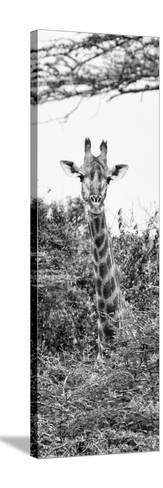 Awesome South Africa Collection Panoramic - Curious Giraffe II B&W-Philippe Hugonnard-Stretched Canvas Print