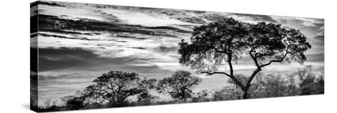 Awesome South Africa Collection Panoramic - Tree Silhouetted at Sunset B&W-Philippe Hugonnard-Stretched Canvas Print