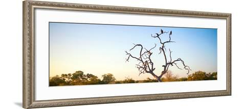 Awesome South Africa Collection Panoramic - Cape Vulture Tree at Sunset-Philippe Hugonnard-Framed Art Print