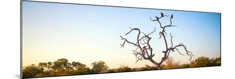 Awesome South Africa Collection Panoramic - Cape Vulture Tree at Sunset-Philippe Hugonnard-Mounted Photographic Print