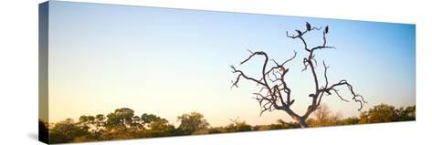 Awesome South Africa Collection Panoramic - Cape Vulture Tree at Sunset-Philippe Hugonnard-Stretched Canvas Print