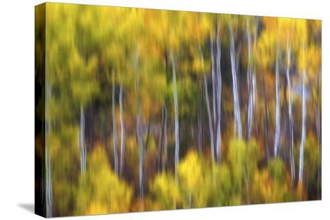 Aspens Alive-Darren White Photography-Stretched Canvas Print