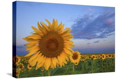 Sunny Side Up-Darren White Photography-Stretched Canvas Print