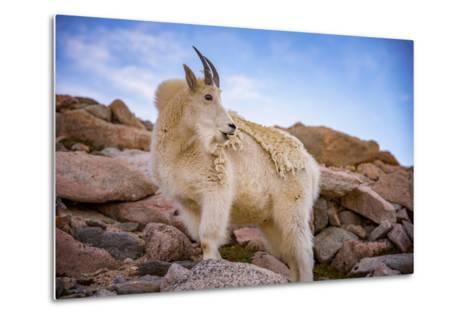 Billy Goat Scruff-Darren White Photography-Metal Print
