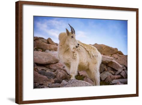 Billy Goat Scruff-Darren White Photography-Framed Art Print
