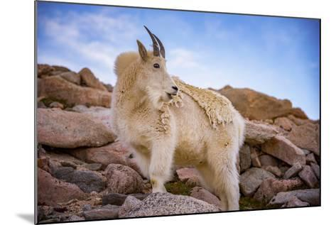 Billy Goat Scruff-Darren White Photography-Mounted Photographic Print
