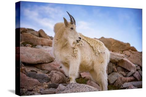 Billy Goat Scruff-Darren White Photography-Stretched Canvas Print