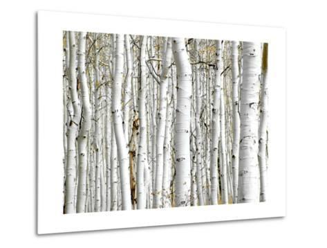 Birch Wood-PhotoINC-Metal Print