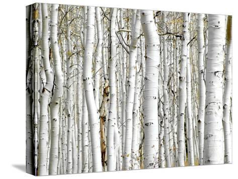 Birch Wood-PhotoINC-Stretched Canvas Print