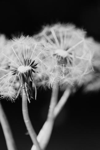Dandelions--Stretched Canvas Print
