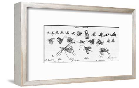 Scientific Illustrations of Mosquitos in Black and White--Framed Art Print