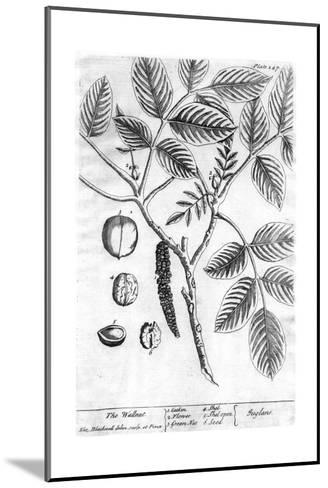Black and White Drawing of a Branch with Leaves and Seeds--Mounted Art Print