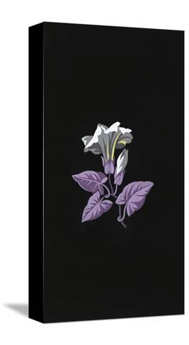 Single White Morning Glory Flower with Purple Leaves on Black--Stretched Canvas Print