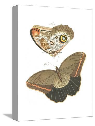 Butterfly Scientific Illustrations--Stretched Canvas Print