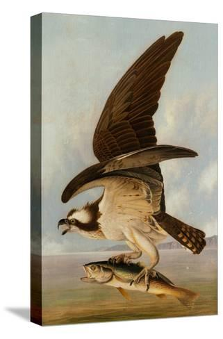 Osprey and Weakfish, 1829-John James Audubon-Stretched Canvas Print
